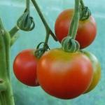Pomidory w słoikach na...