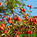 Herbatka z dzikiej rozy (...