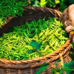 Zielona herbata przeciw...