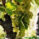 Nalewka z bialych winogro...