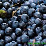 Nalewka z lesnych jagod (...