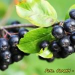 Nalewka z owocow aronii (...
