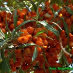 Sok z owoców rokitnika.