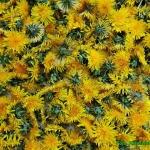 Syrop z kwiatów mniszka...