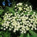 Herbatka z kwiatow  bzu c...