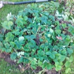 Sadzenie truskawek - foli...