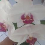 Storczyki Phalaenopsis - ...