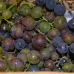 Sok winogronowy na zimę