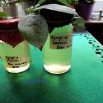 Syrop z kwiatow jasminu i...