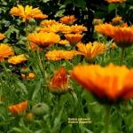 Nagietki - kwiaty...