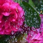 Kwiaty w deszczu…