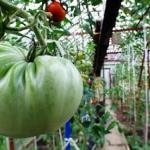 W królestwie pomidorów...
